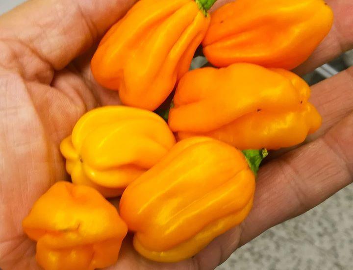 Näin sööttejä chilejä kasvaa Rautajärvellä! Ulkonäkö ku...